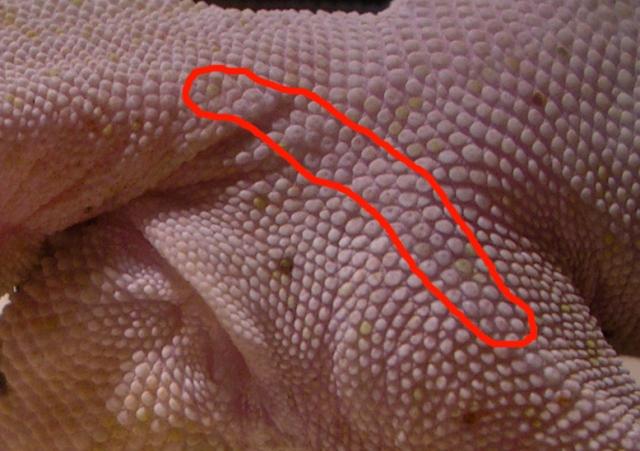 Pori femorali - Maschio