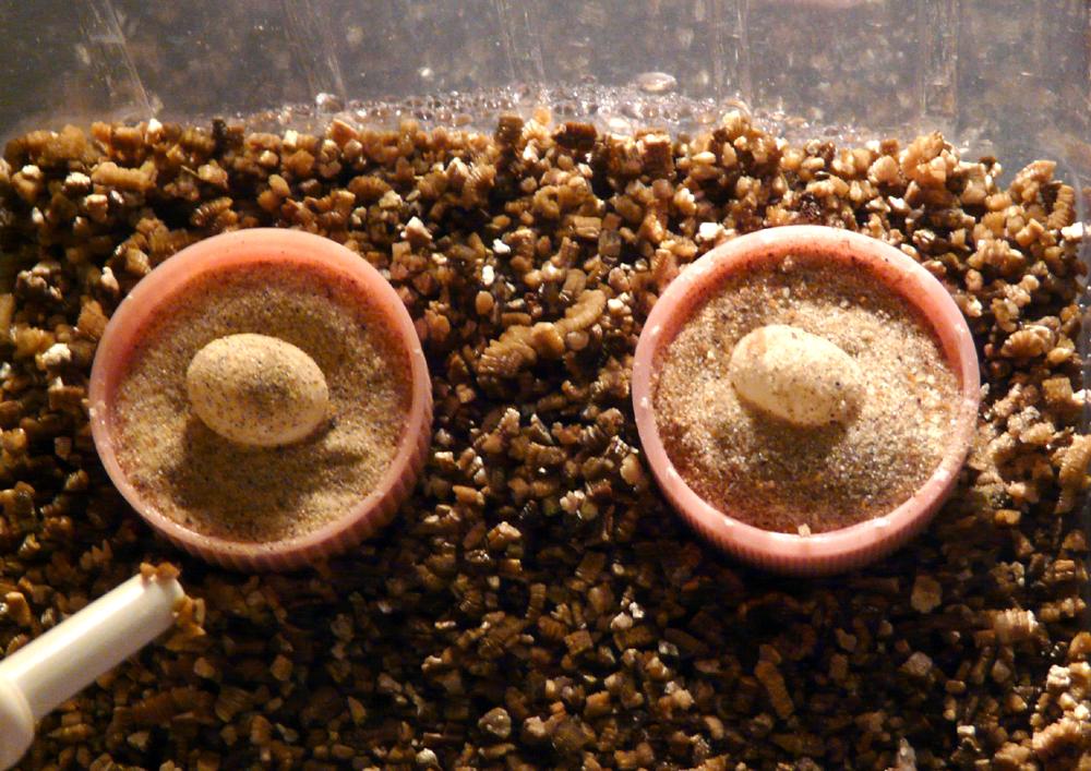 uova incubate con il metodo classico